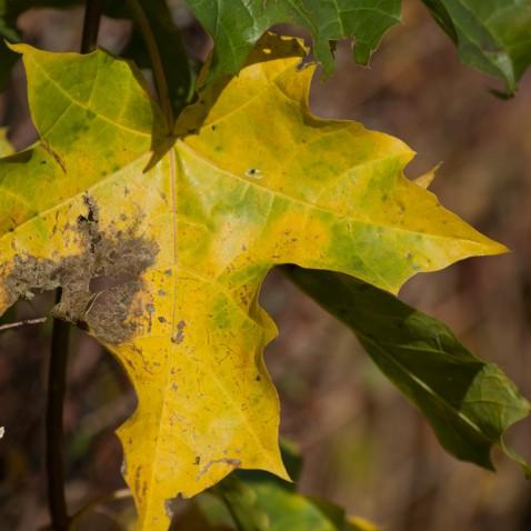 Efterårsblåd